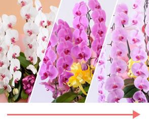 どういう胡蝶蘭を選べば花が長く咲き続けて喜んでもらえますか?