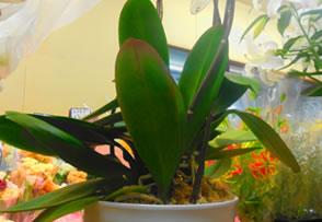 良い胡蝶蘭の見分け方を教えてください。