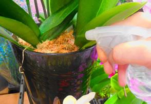 胡蝶蘭の水やりの仕方を簡単に教えてください。