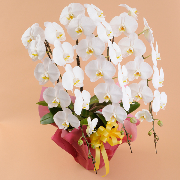 一年で最も胡蝶蘭が売れる季節です|就任祝いの胡蝶蘭!