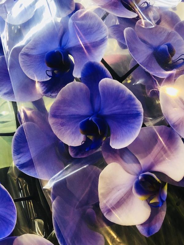 紫の胡蝶蘭♪