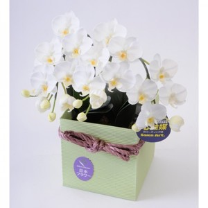 光触媒(造花) 2本立胡蝶蘭 白