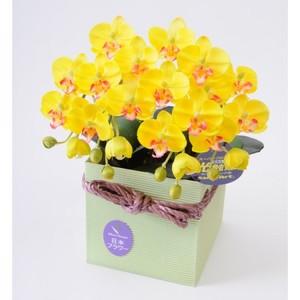 光触媒(造花) 2本立胡蝶蘭 黄色
