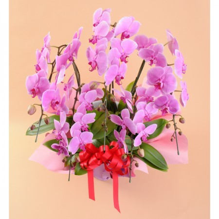 大輪胡蝶蘭 5本立 特大 ピンク