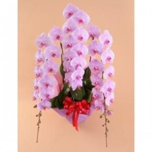 大輪胡蝶蘭 3本立 超特大 ピンク