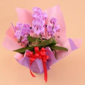 ミニ胡蝶蘭 3本立 ピンク