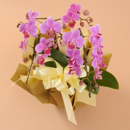 ミニ胡蝶蘭 2本立 ピンク