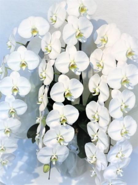 大輪胡蝶蘭 3本立 超特大 白