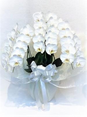 ミニ胡蝶蘭 3本立 白