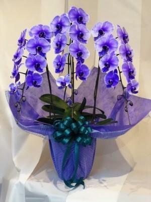 紫の胡蝶蘭 パープルエレガンス 3本立ち