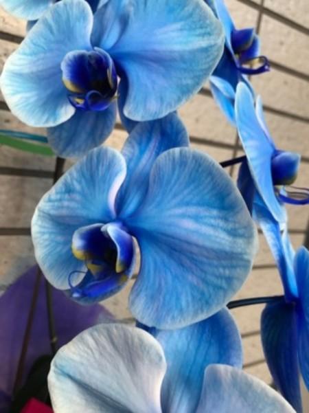 【数量限定】青い胡蝶蘭!ブルーエレガンス2本立ち